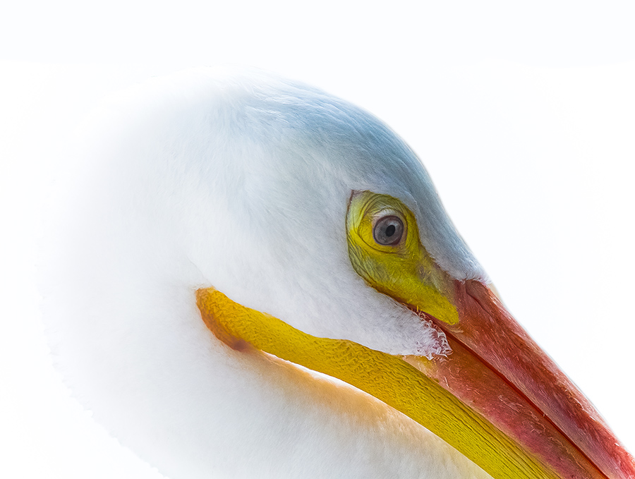 RESCINDING_40x30_(White Pelican)